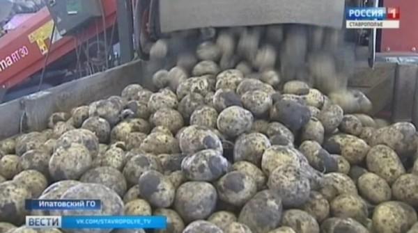 Житель Ставрополья выкопал с чужого поля 300 килограммов картофеля